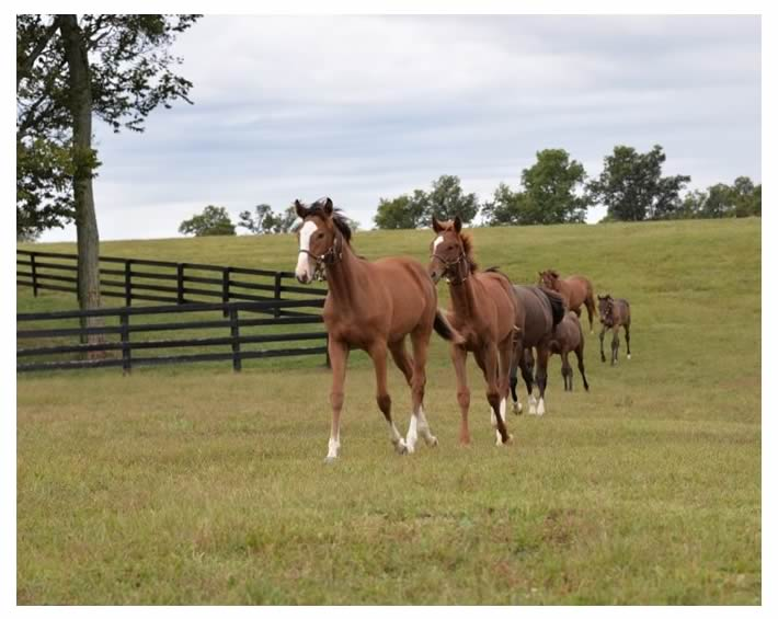 taylormade-yearlings - Destination Bluegrass